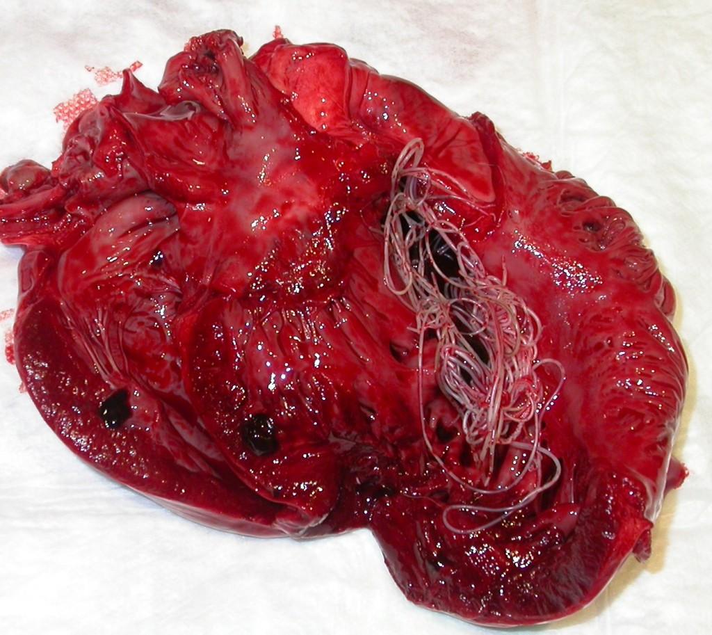 La filariosis o enfermedad del gusano del corazón