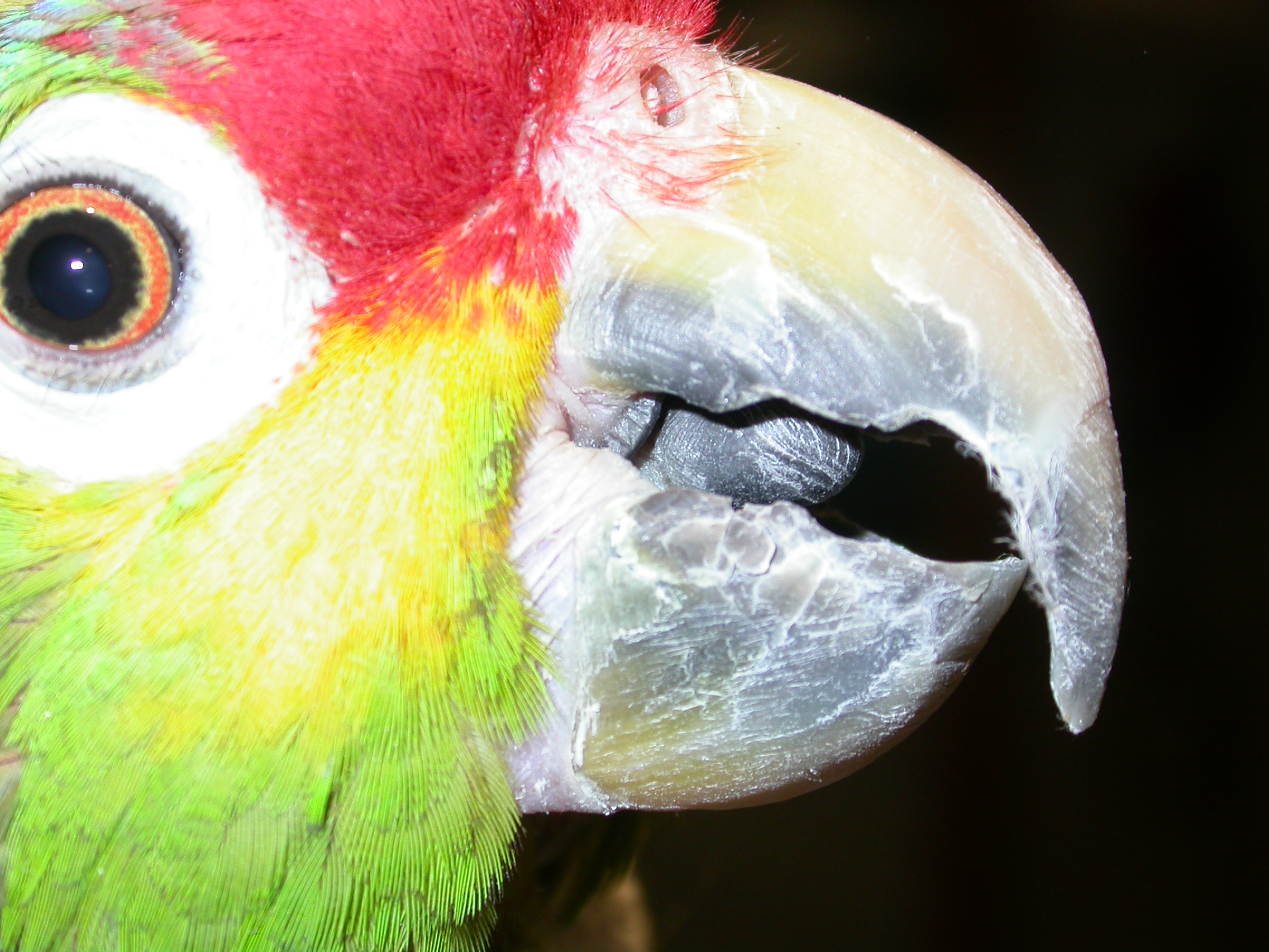 Loro Rodocorita Amazónico